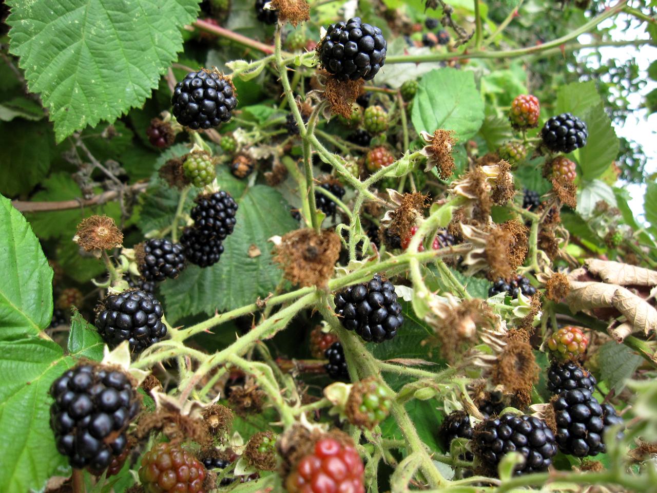 Blackberry picking in washington