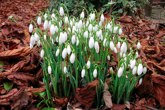 Charmant When Most Other Plants Are Hiding Away From Winteru0027s Chill, Snowdrop Is  Eager To Get Going. One Of The First Blossoms Of Late Winter, Snowdrops Are  Still ...