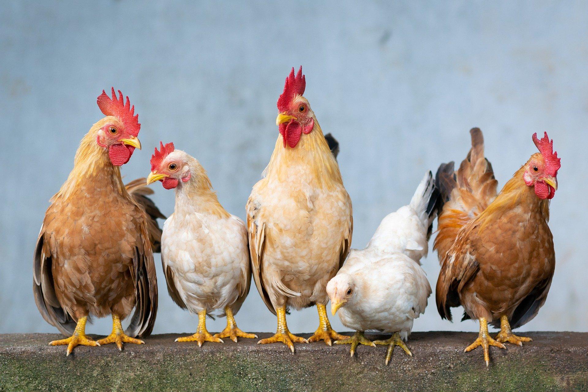 Rent the Chicken!