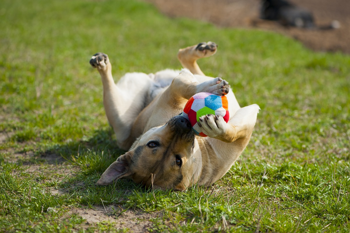 dog playing with ball in grass