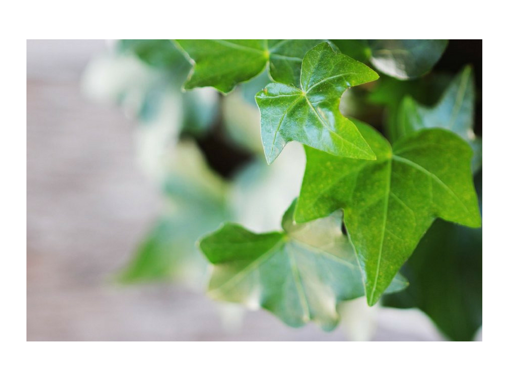 Using English Ivy in Your Home Decor