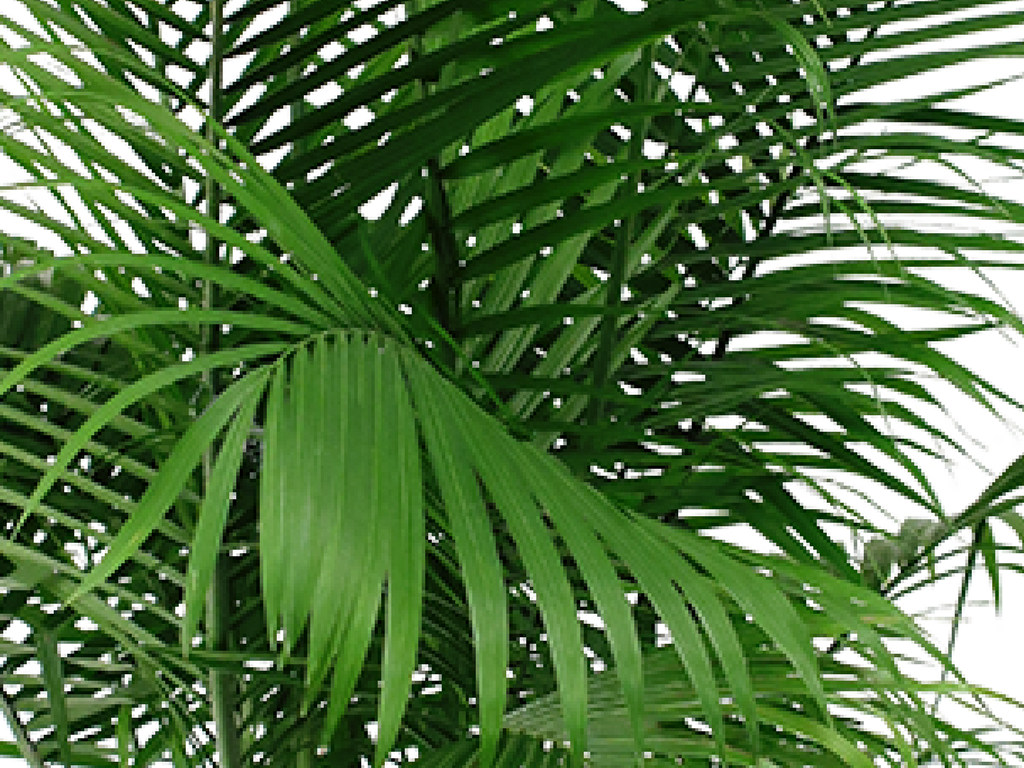 Using the Majesty Palm in Your Home Decor