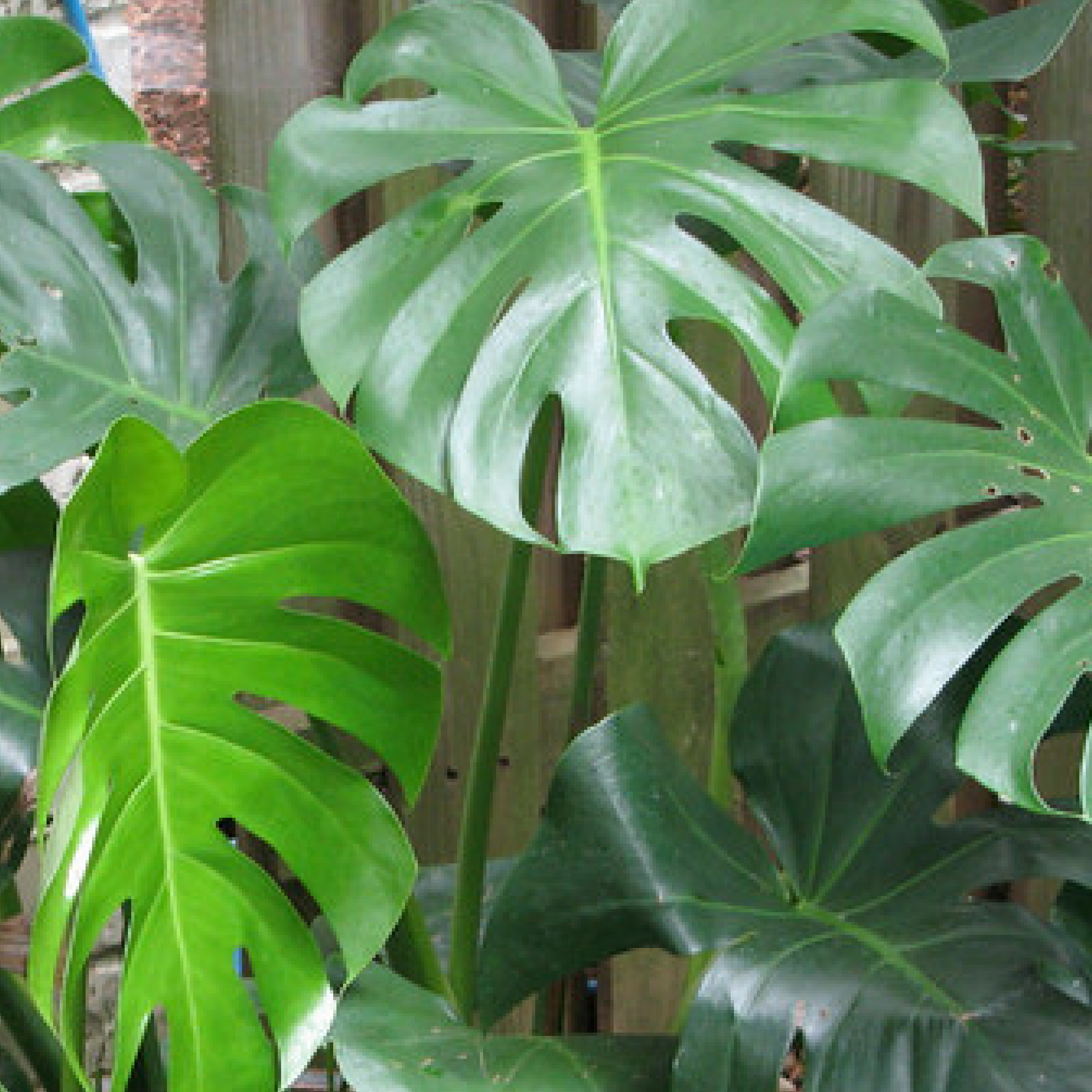 Philodendron Oxford MS
