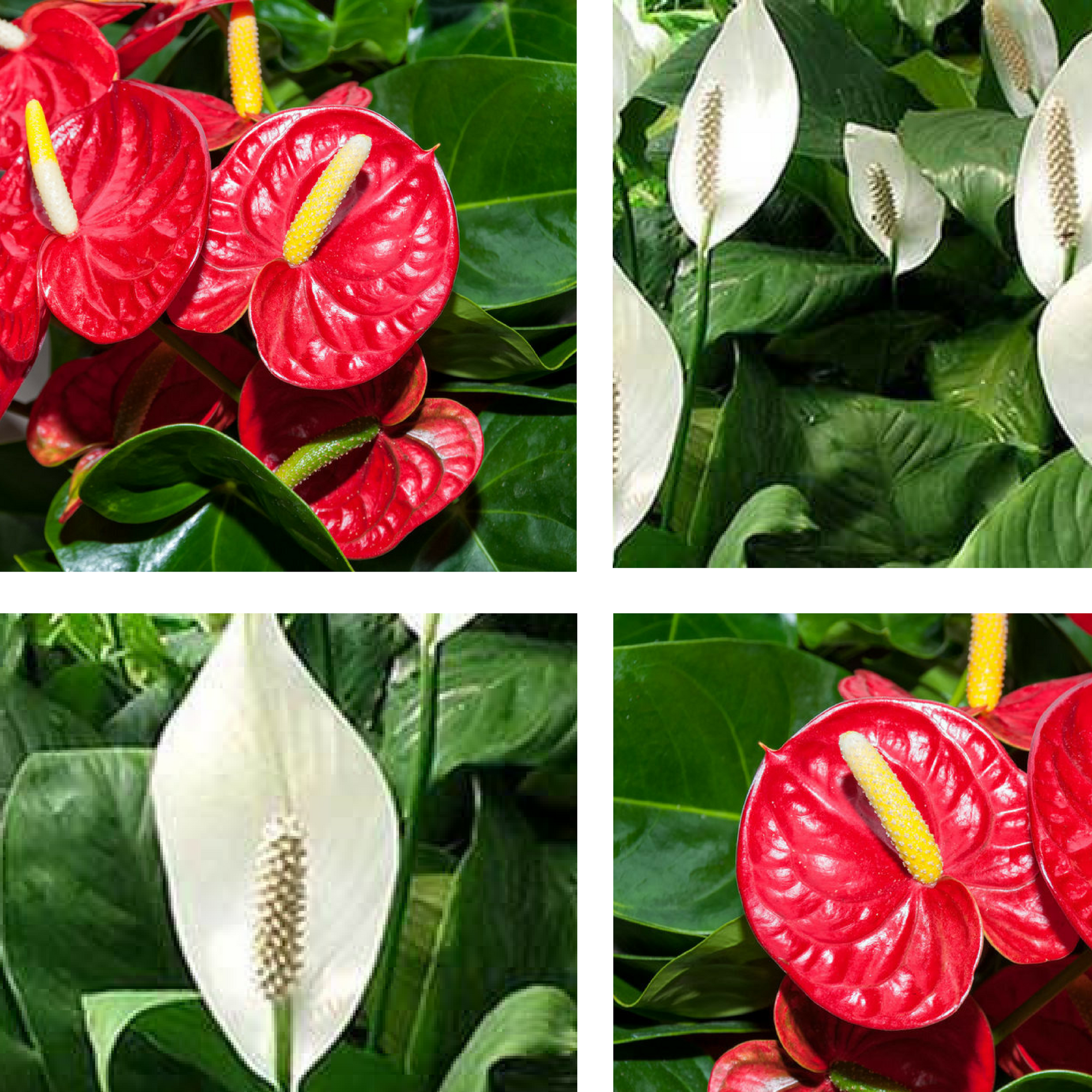 Red and White Peace Lilies