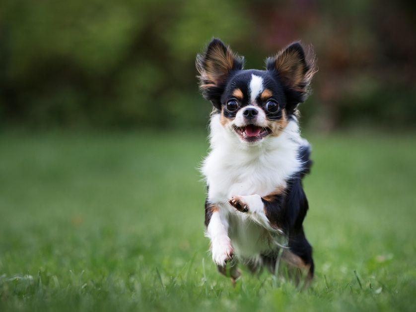 Tiny Dog Breeds Under  Pounds