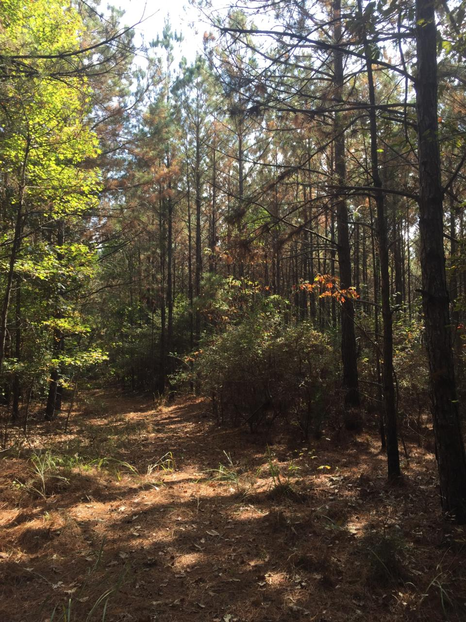 Pine Prairie Louisiana Timberland for Sale $2000 Per Acre - Evangeline Parrish