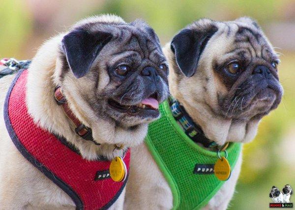 Identical Pugs