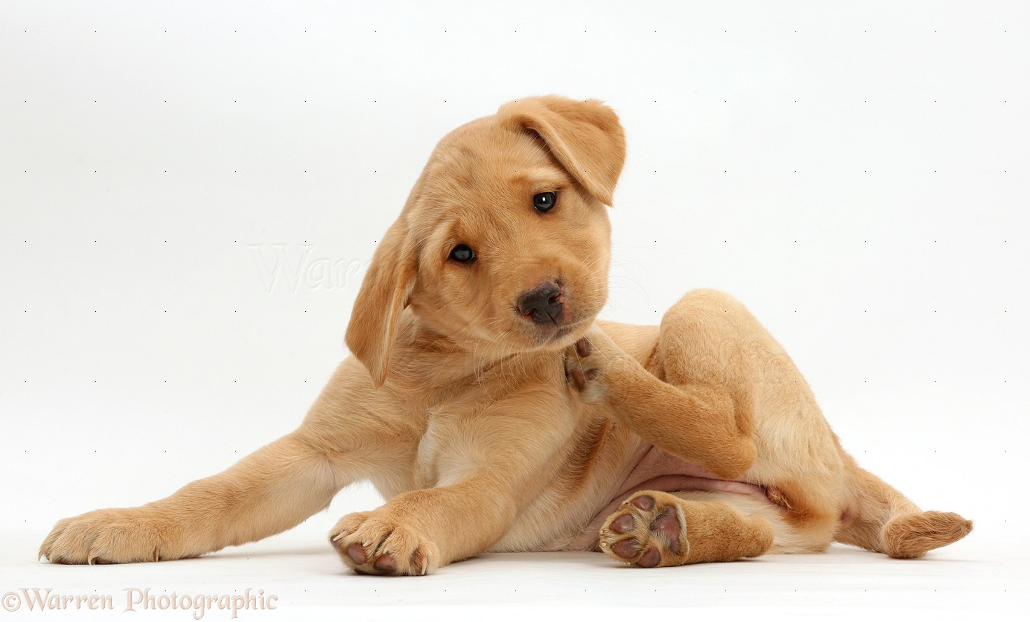 Why does my puppy keep itching and scratching? | Yahoo Answers