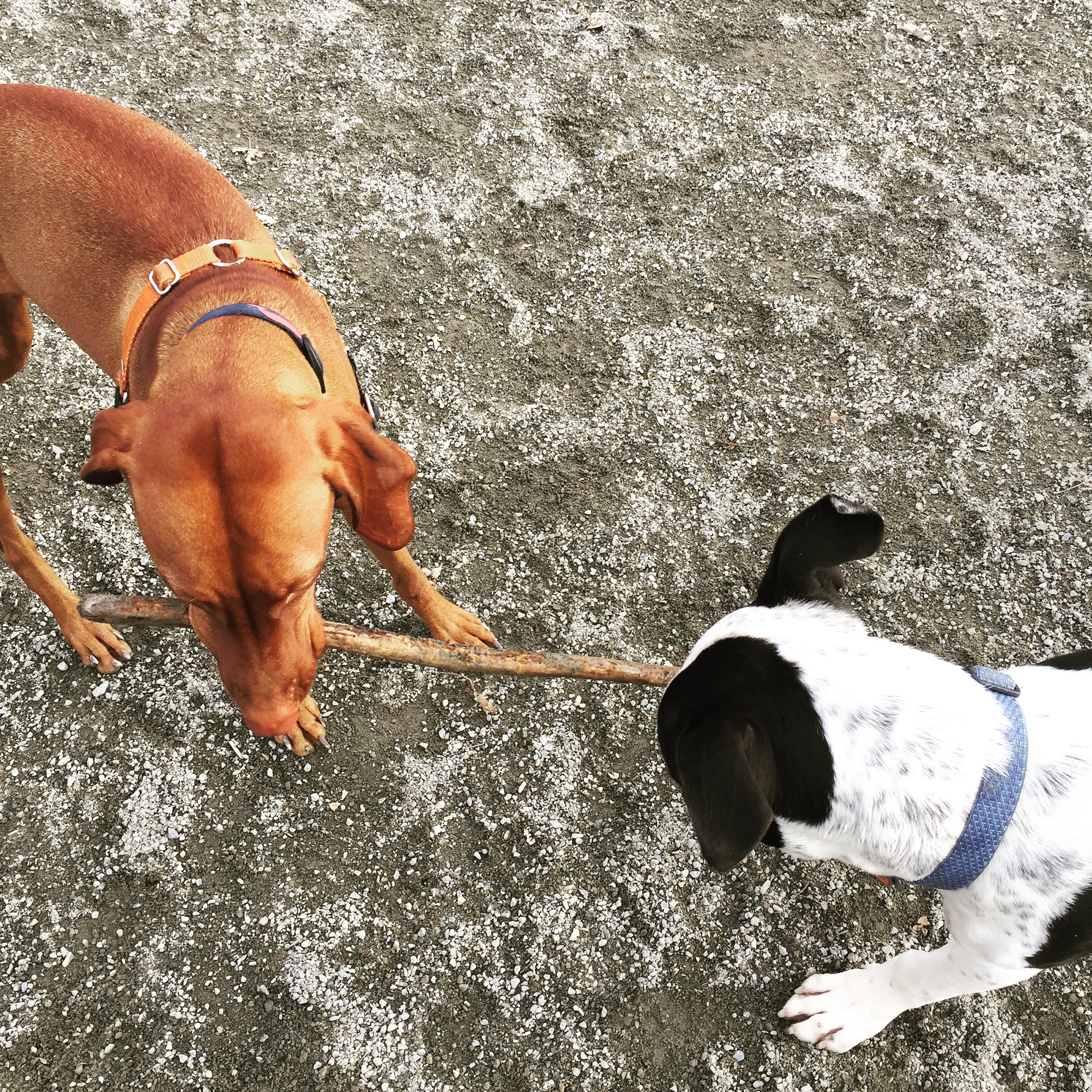 This never gets old...stick tug-o-war