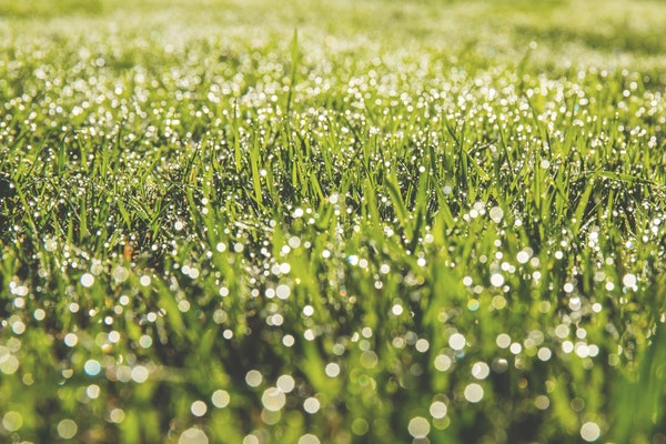 Green lawn covered in dew