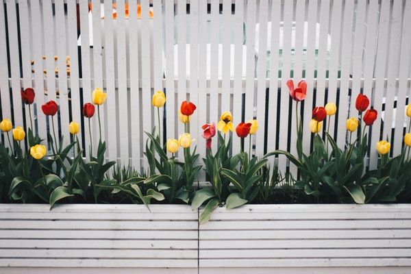 Boxes of Tulips in front of a nice home