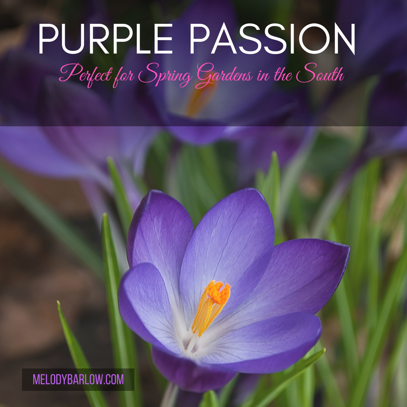 The Flower Of The Year Is Here: The Purple Rose - Melody Barlow